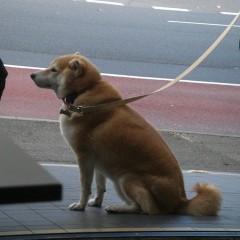 シドニーで見つけた日本代表・柴犬。